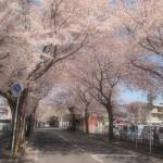 春の桜は見応えがあります。