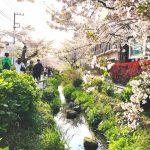 桜の季節のお散歩も素敵です(周辺)
